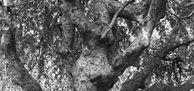 Weeping Beech, Brooklyn Botanic Garden, 2011